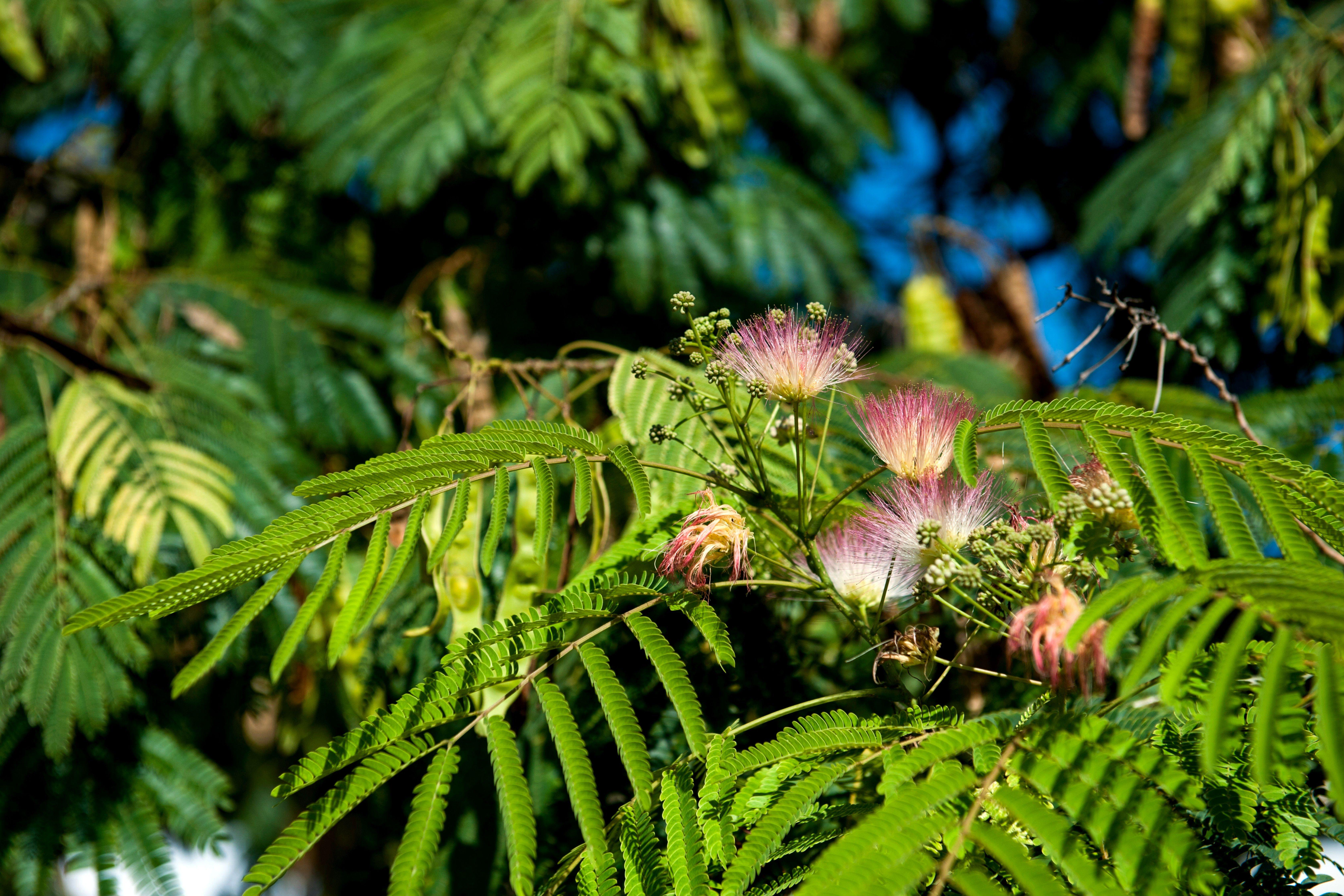 The distinctive, fluffy, pinkish purple flowers of a silk tree against the fern-like foliage