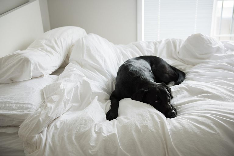 Black dog laying on all white bed