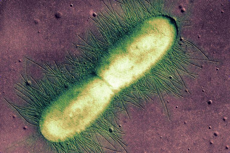 E. coli Bacterium