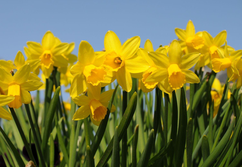 Daffodil Magic Legends And Folklore