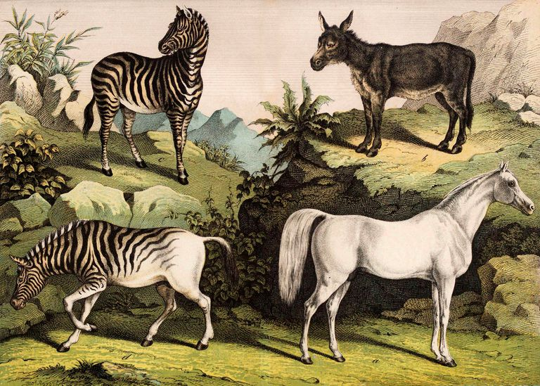 Illustration of four equines in the wild