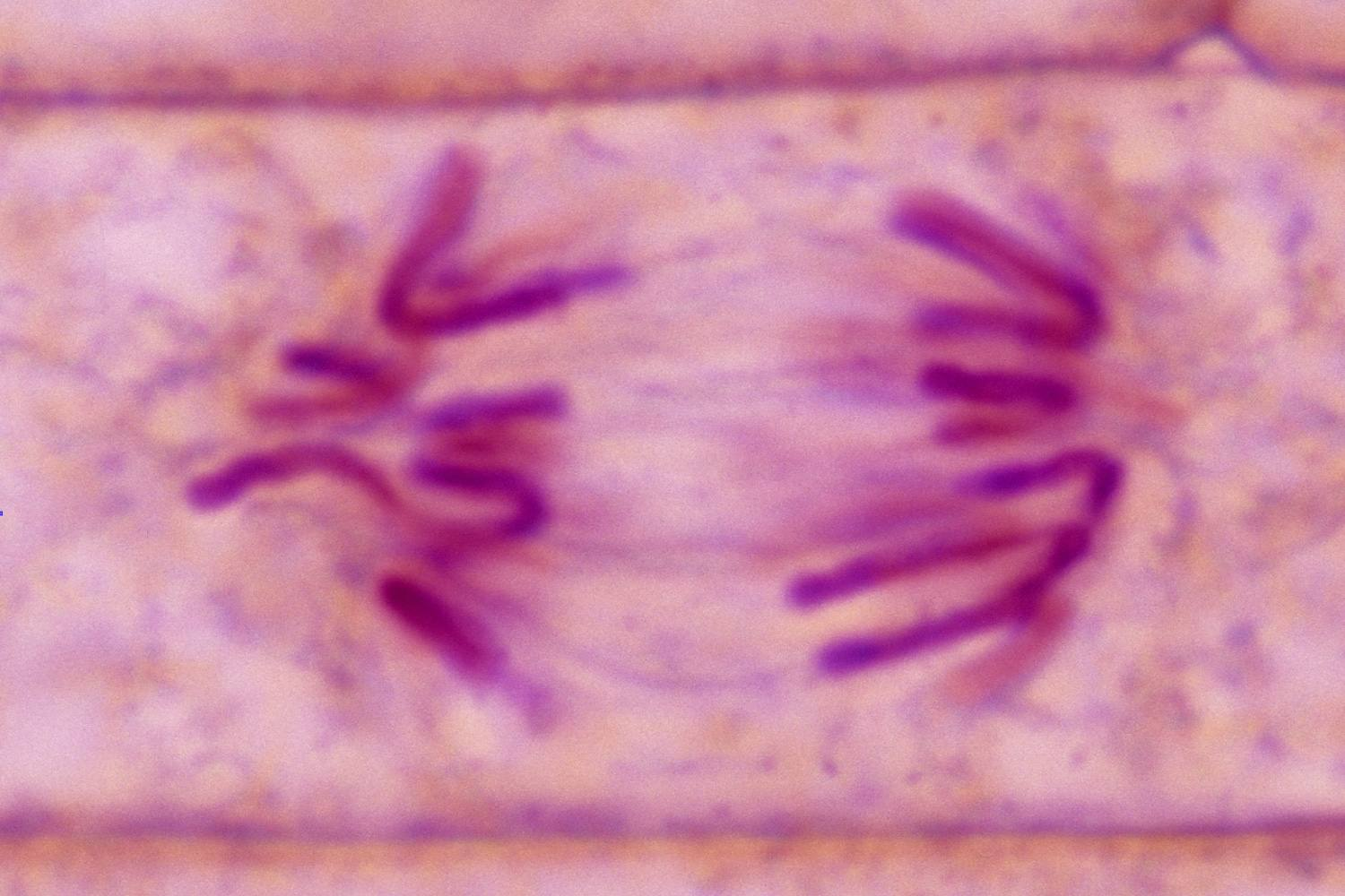The Stages Of Mitosis And Cell Division Simple Animal Diagram Labeled 2 This Onion Root Tip Plant Is In Anaphase Replicated Chromosomes Are Moving To Opposite Ends Spindle Fibers Microtubules
