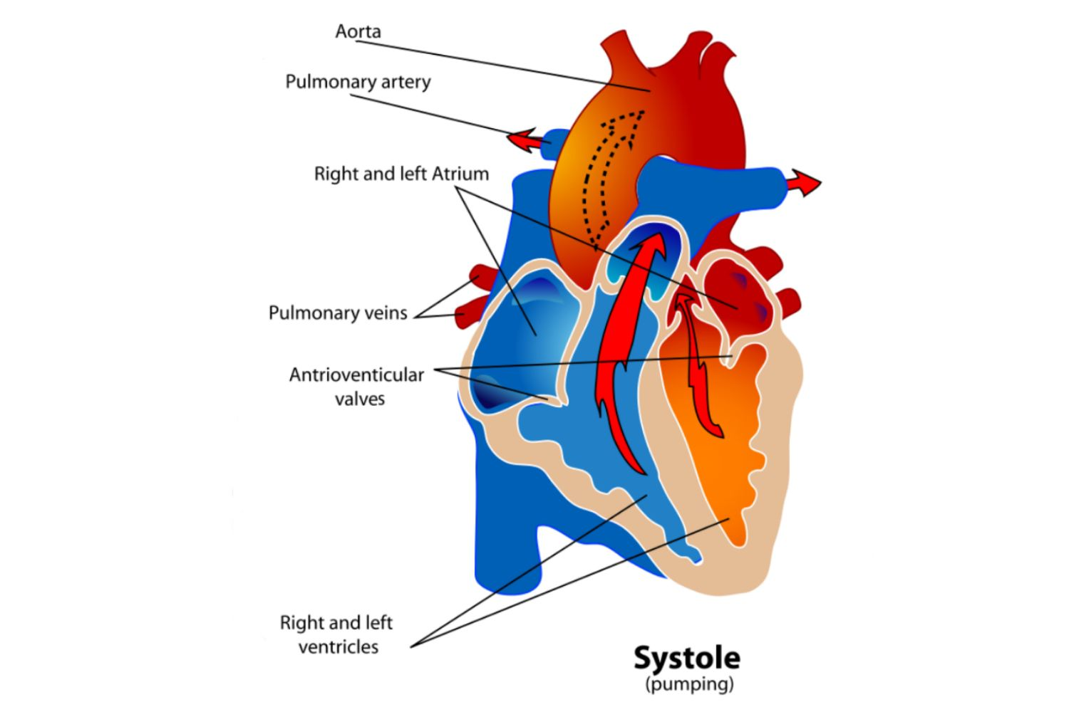 Phases of the cardiac cycle when the heart beats ccuart
