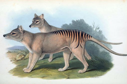 A print of Tasmanian tigers