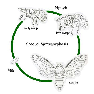 The periodical cicada is hemimetabolous, an insect with gradual metamorphosis.