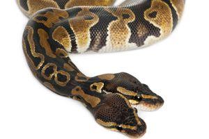 Two-headed Royal Python