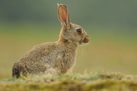 Hares and Rabbits - Leporidae