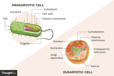 the outermost boundary of prokaryotic cells is their