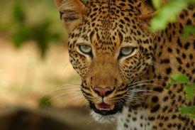 Leopard looking into the camera