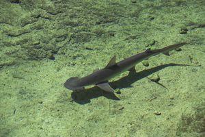 Looking down on bonnethead shark swimming