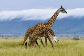 2 Masai giraffes