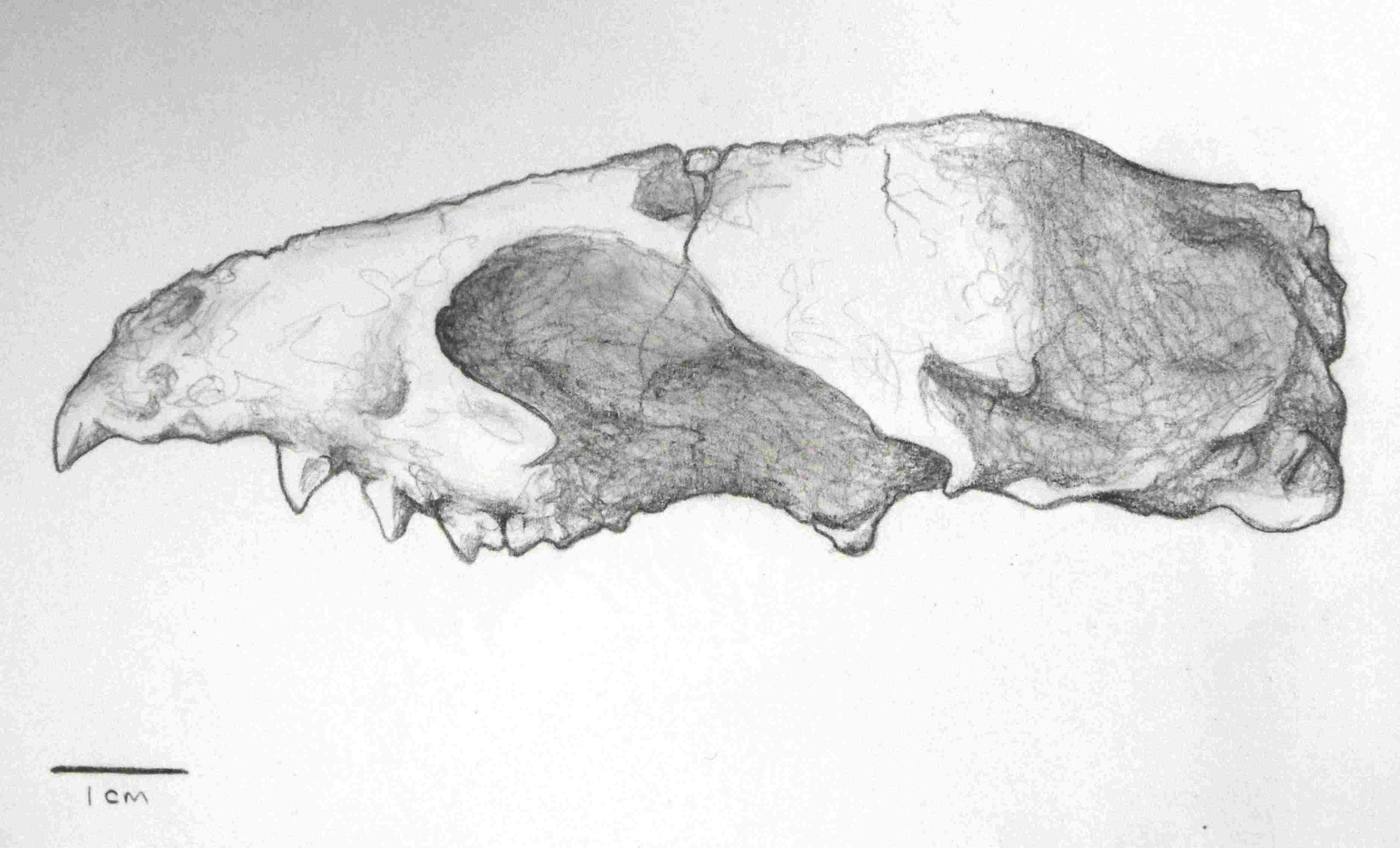 Illustration of a Miacis skull