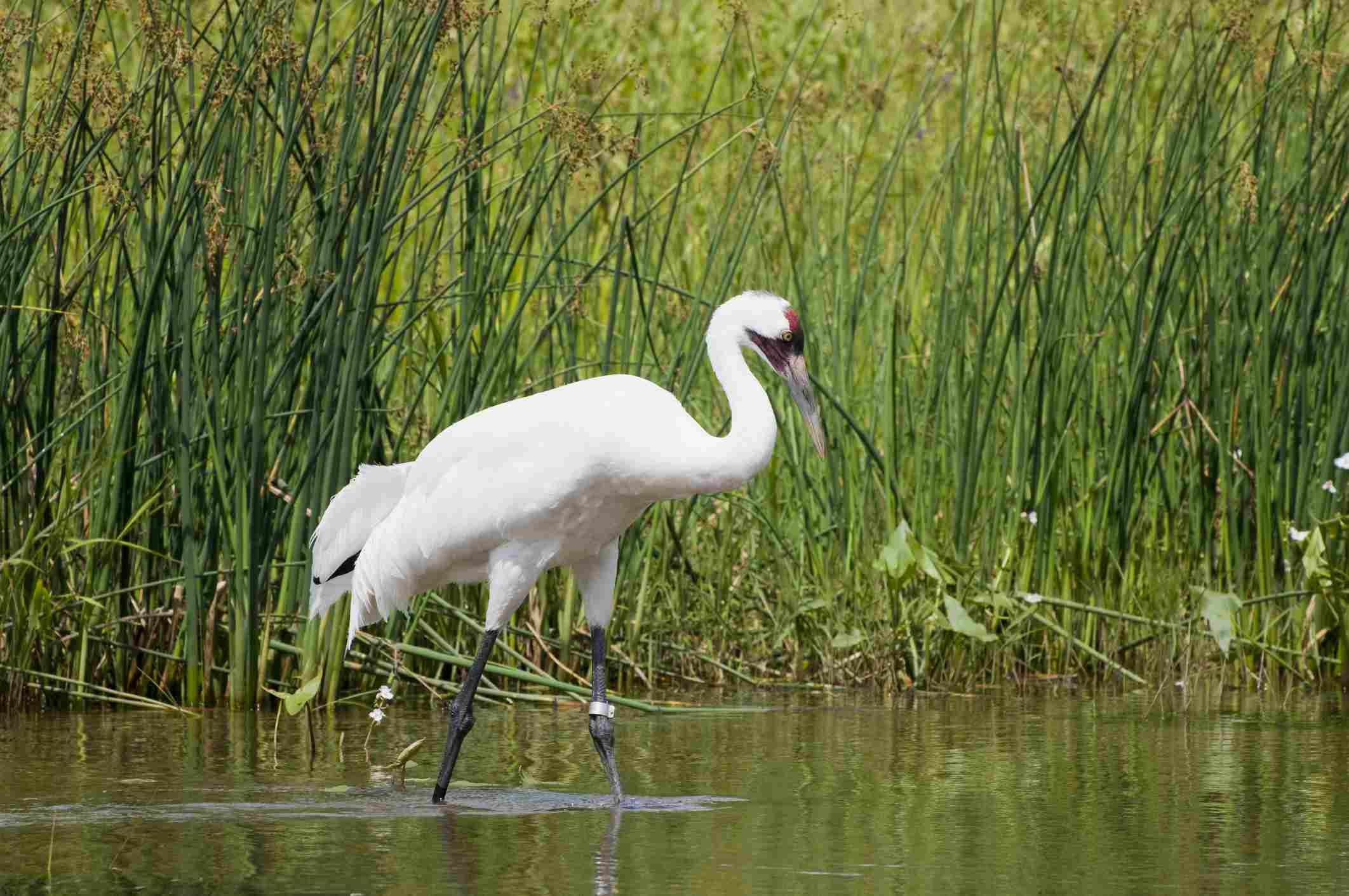 Whooping crane standing in a marsh