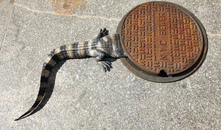 Alligator going into a NYC Sewer Drain