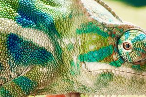 Close up shot of chameleon with multiple shades of green, blue, white, and brown.