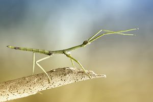 Green stick insect on branch.