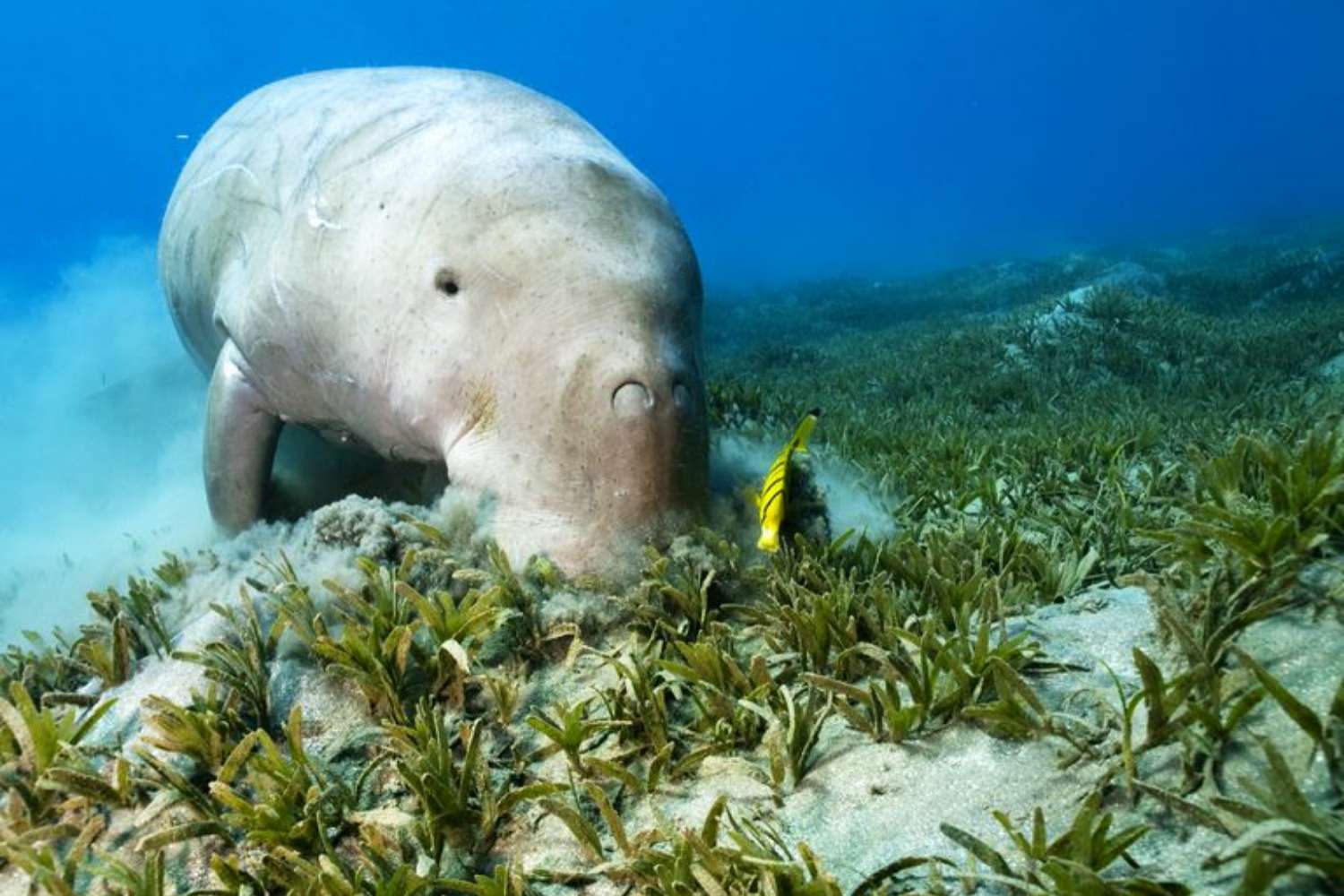 Dugong and Cleaner Fish on Seagrass.