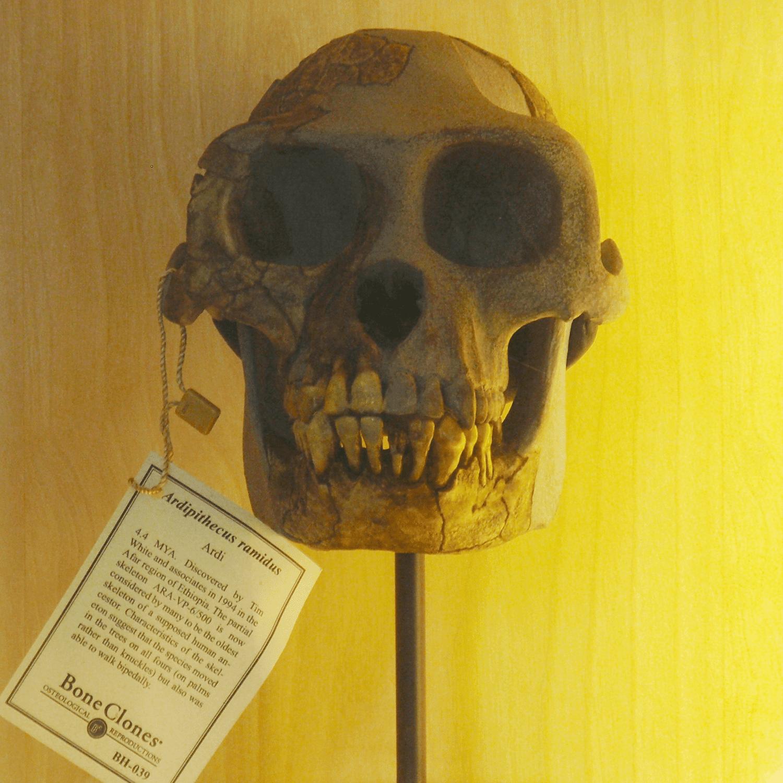Ardipithecus skull
