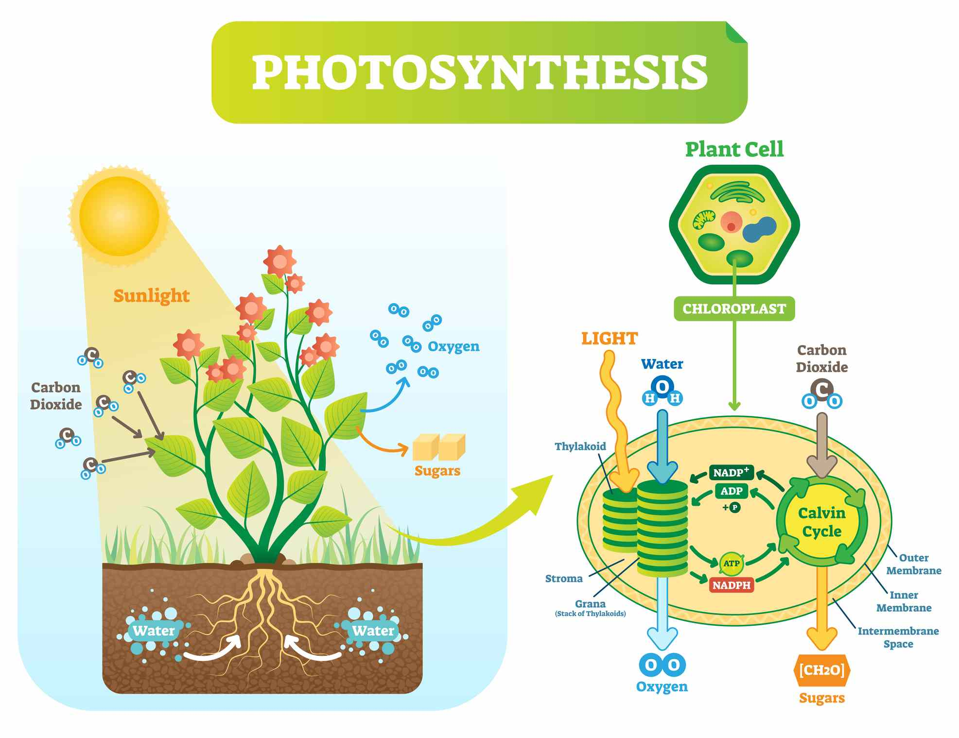 photosynthesis diagram cell photosynthese cycle carbon water dioxide oxygen vector plan fotosintesi biologische rate met sugars vectormine getty affect