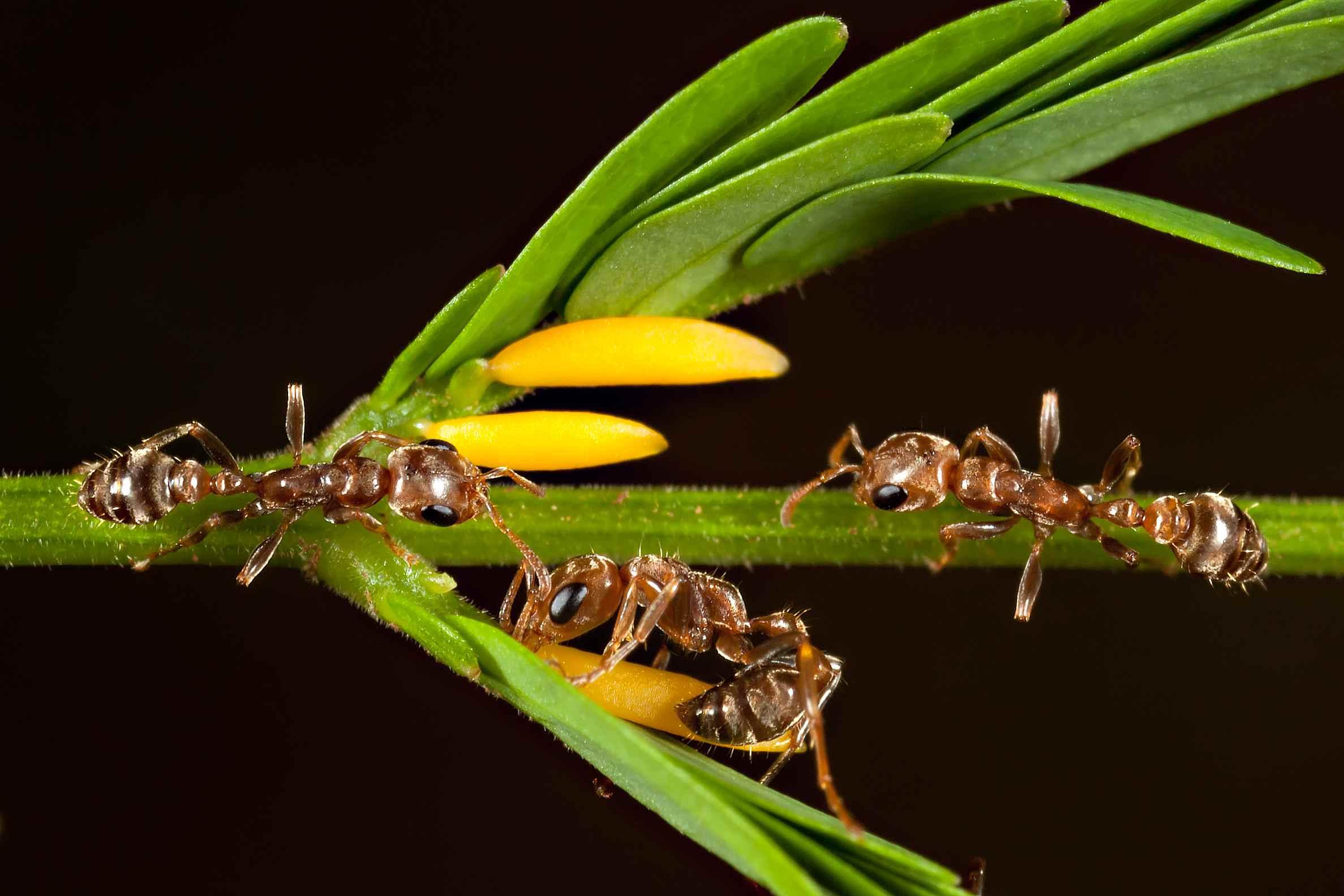 acacia ant