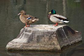 Close-Up Of Mallard Ducks Perching On Stone By Lake