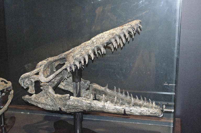 A Mosasaurus skull found at the Charles M. Russell National Wildlife Refuge in Philips County, Montana, is shown at the Museum of the Rockies in Bozeman, Montana