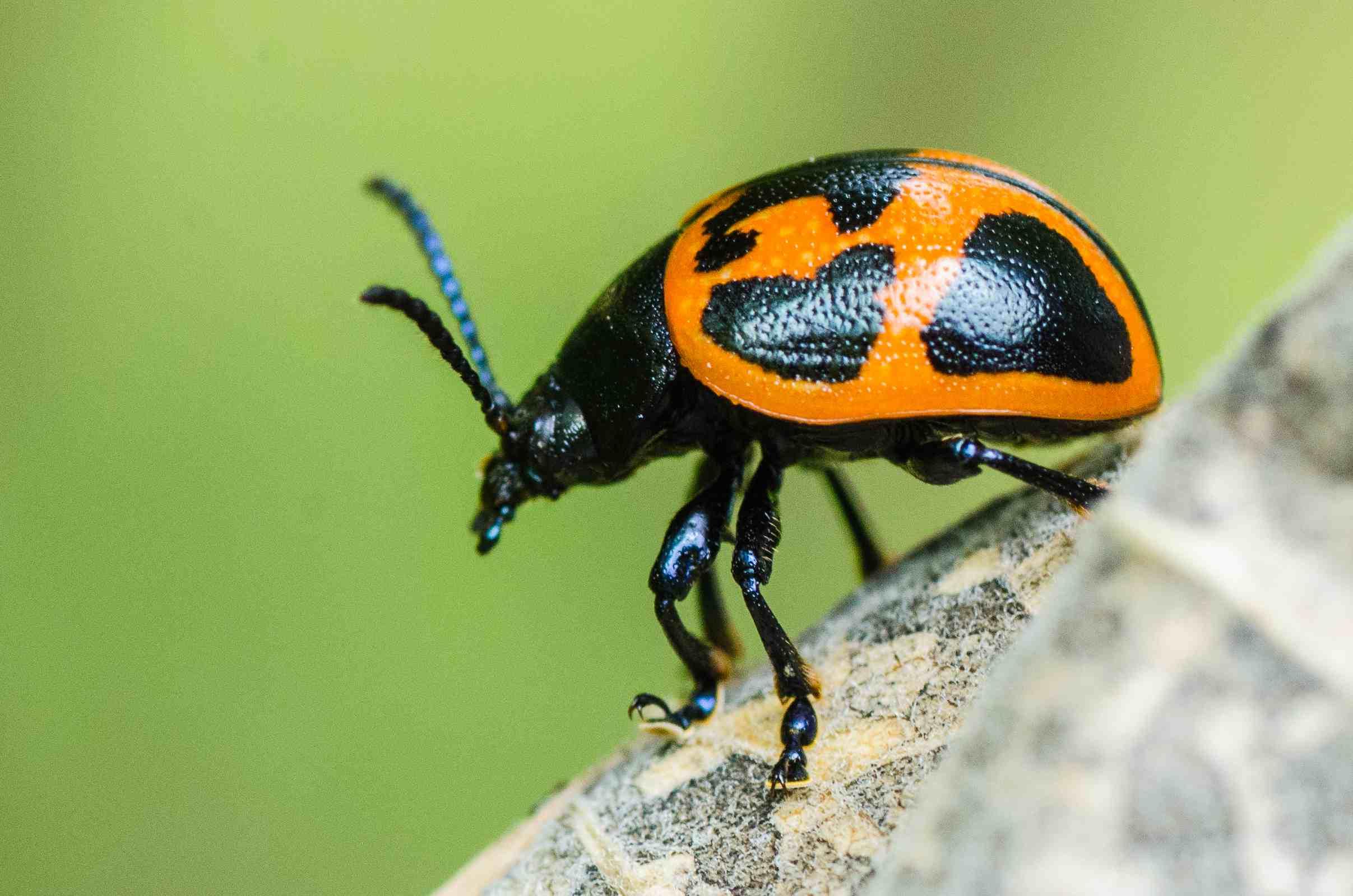 Swamp milkweed beetle.