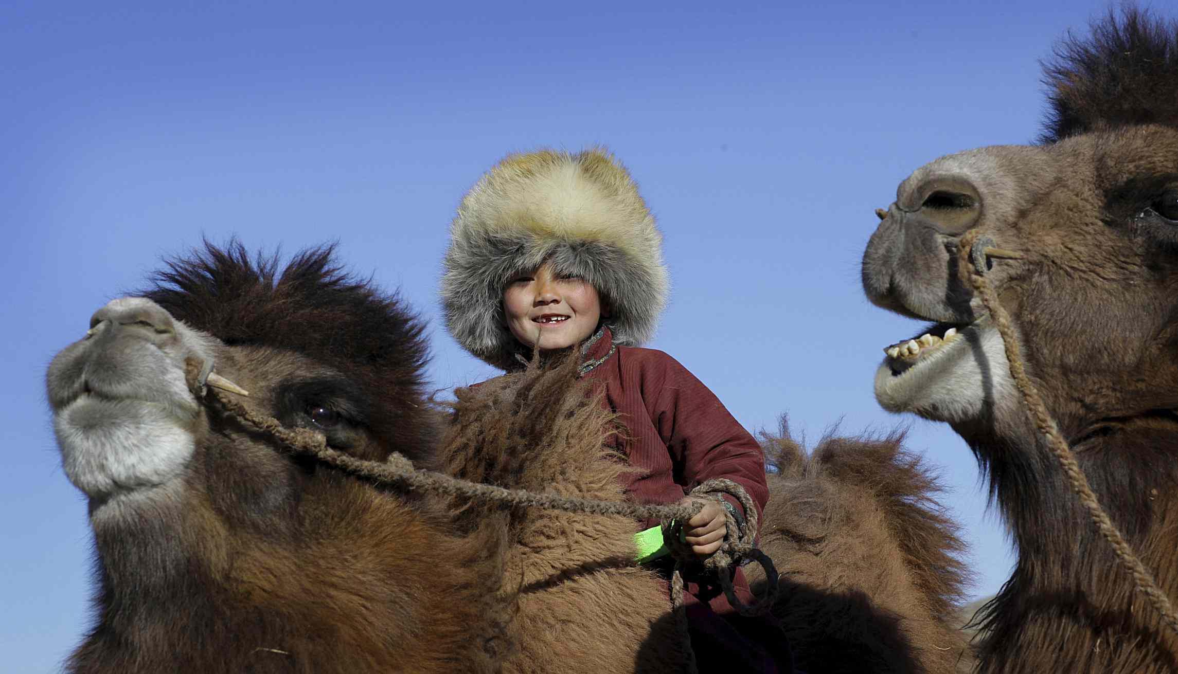 Mongolian child rides a Bactrian camel