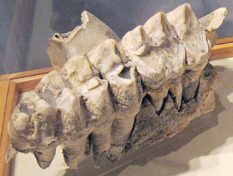 A set of Mastodon teeth