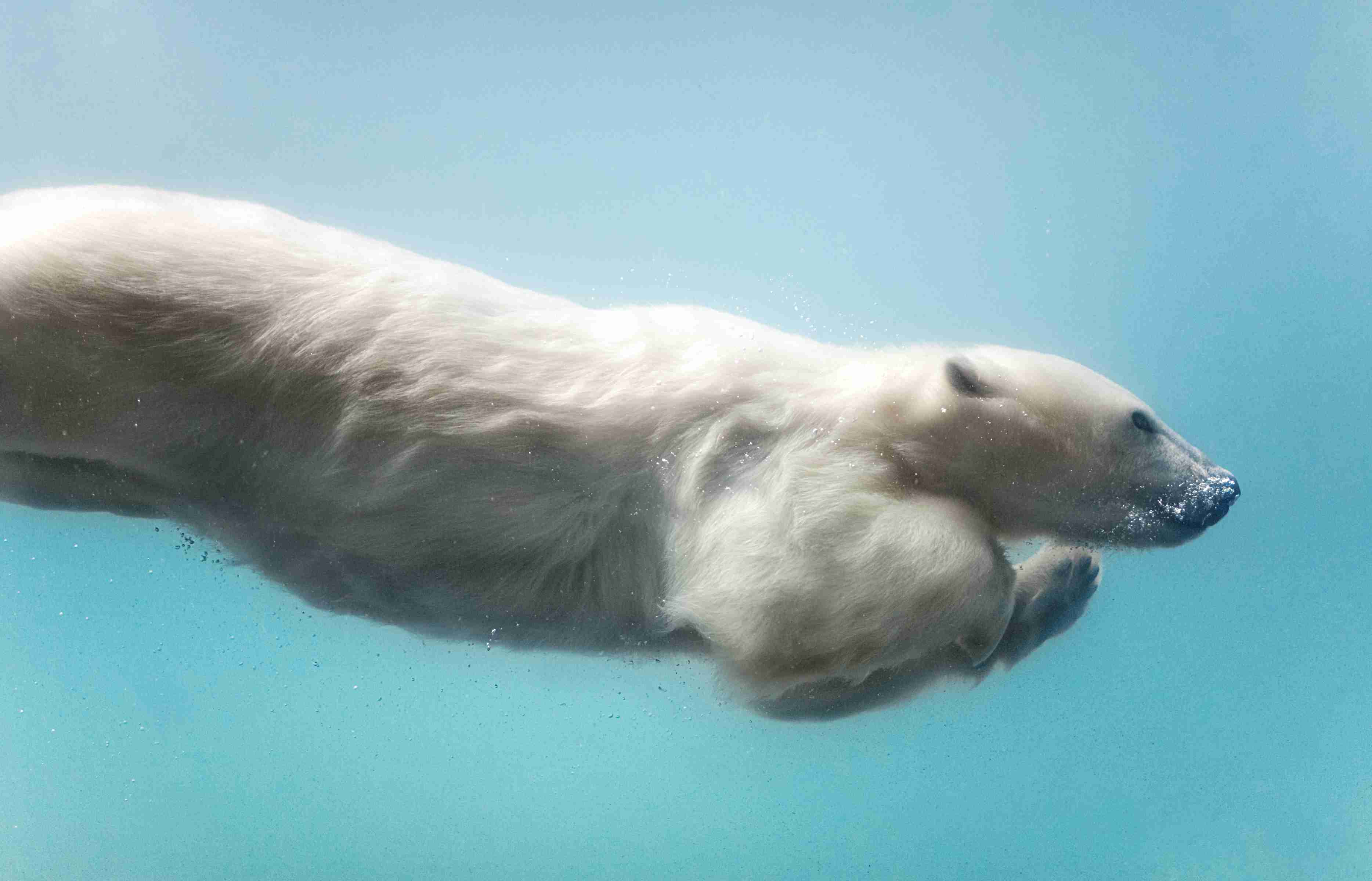 Polar bears are excellent swimmers.