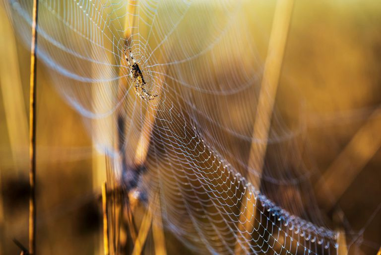 An Orb-Weaver spider rests in her web