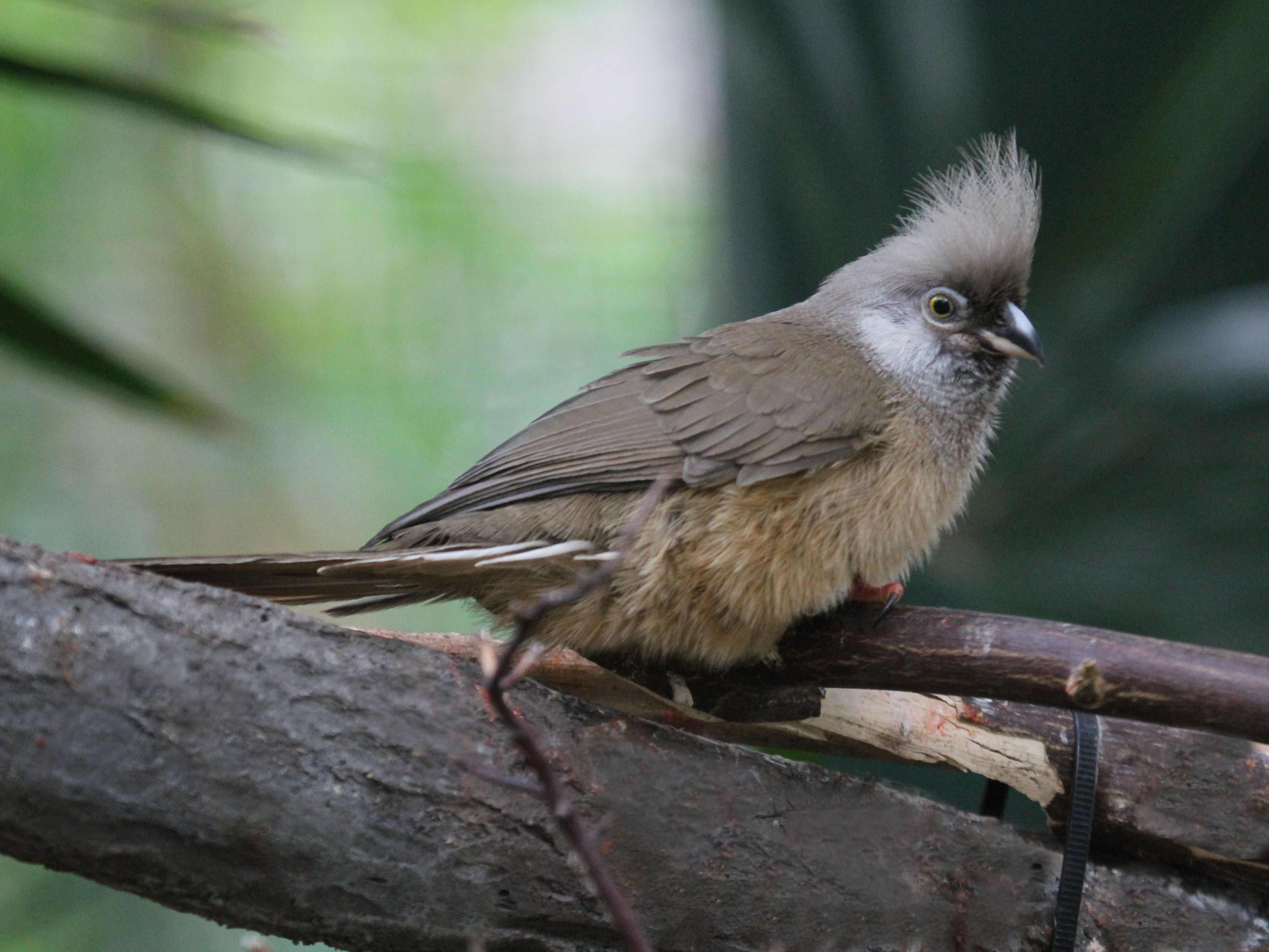 Speckled mousebird perched on a branch