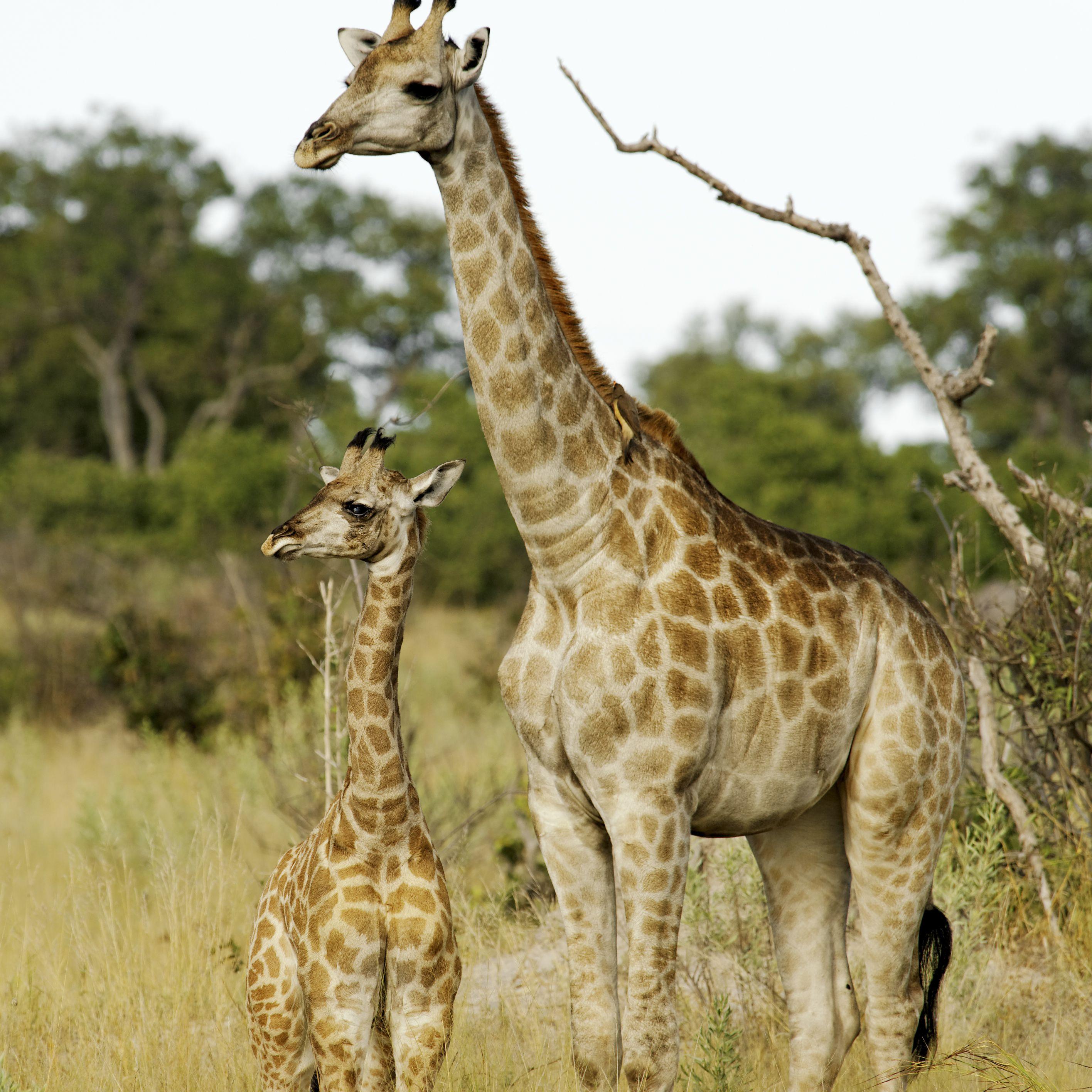 Giraffe mother and her calf, Okavango Delta, Botswana