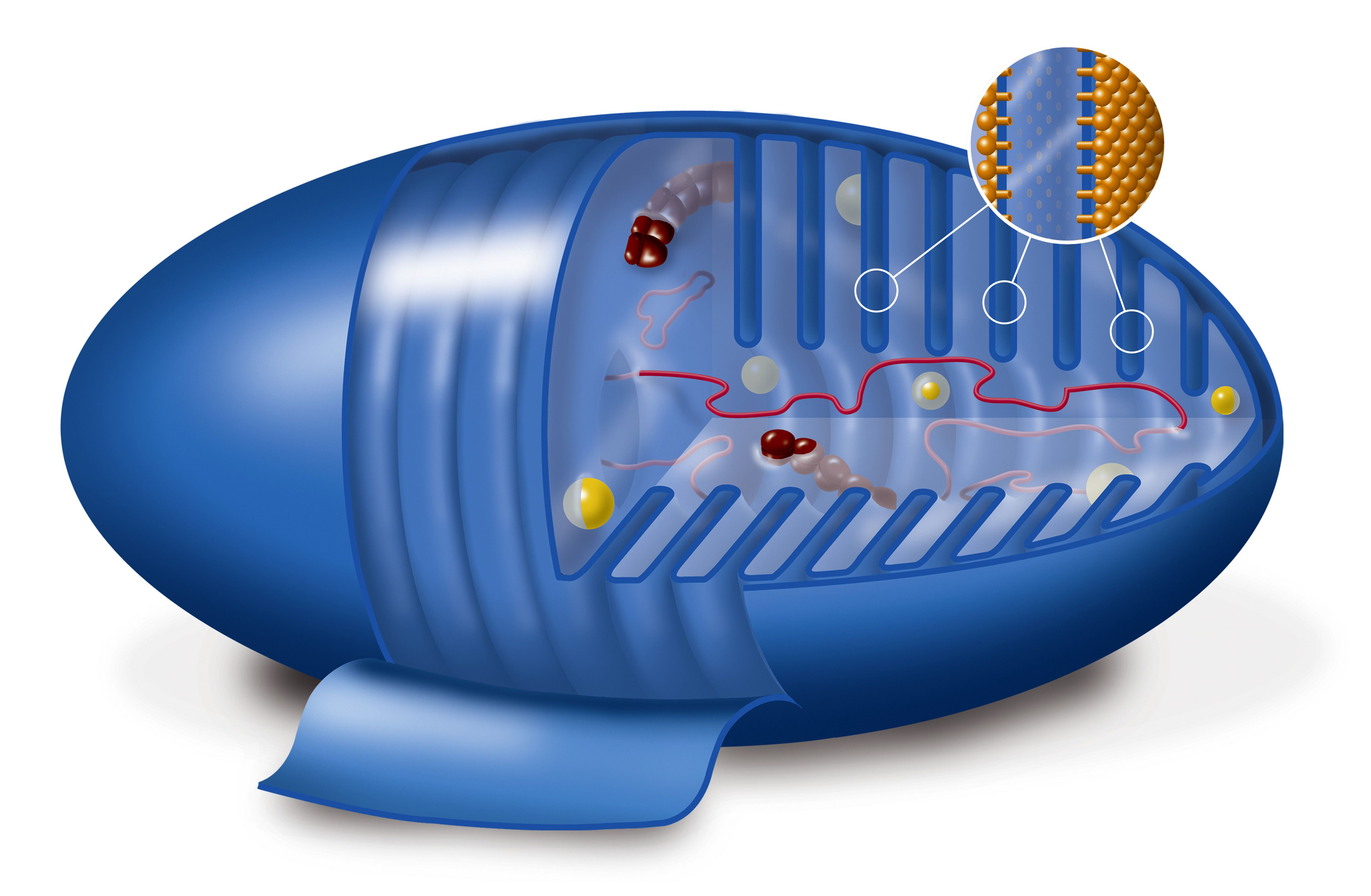 The citric acid cycle occurs in the cristae or membrane folds of mitochondria.