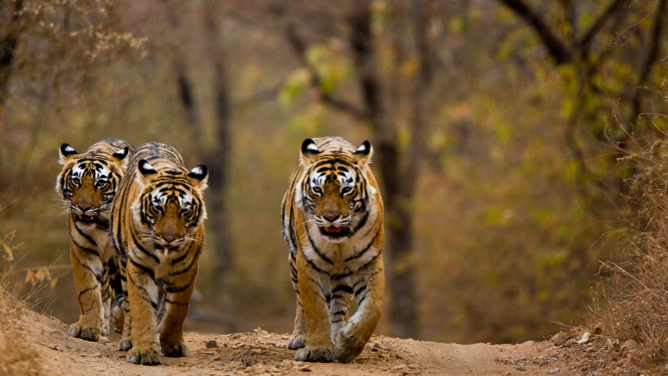 what is a bengal tiger diet