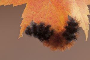 A banded woollybear caterpillar under a leaf