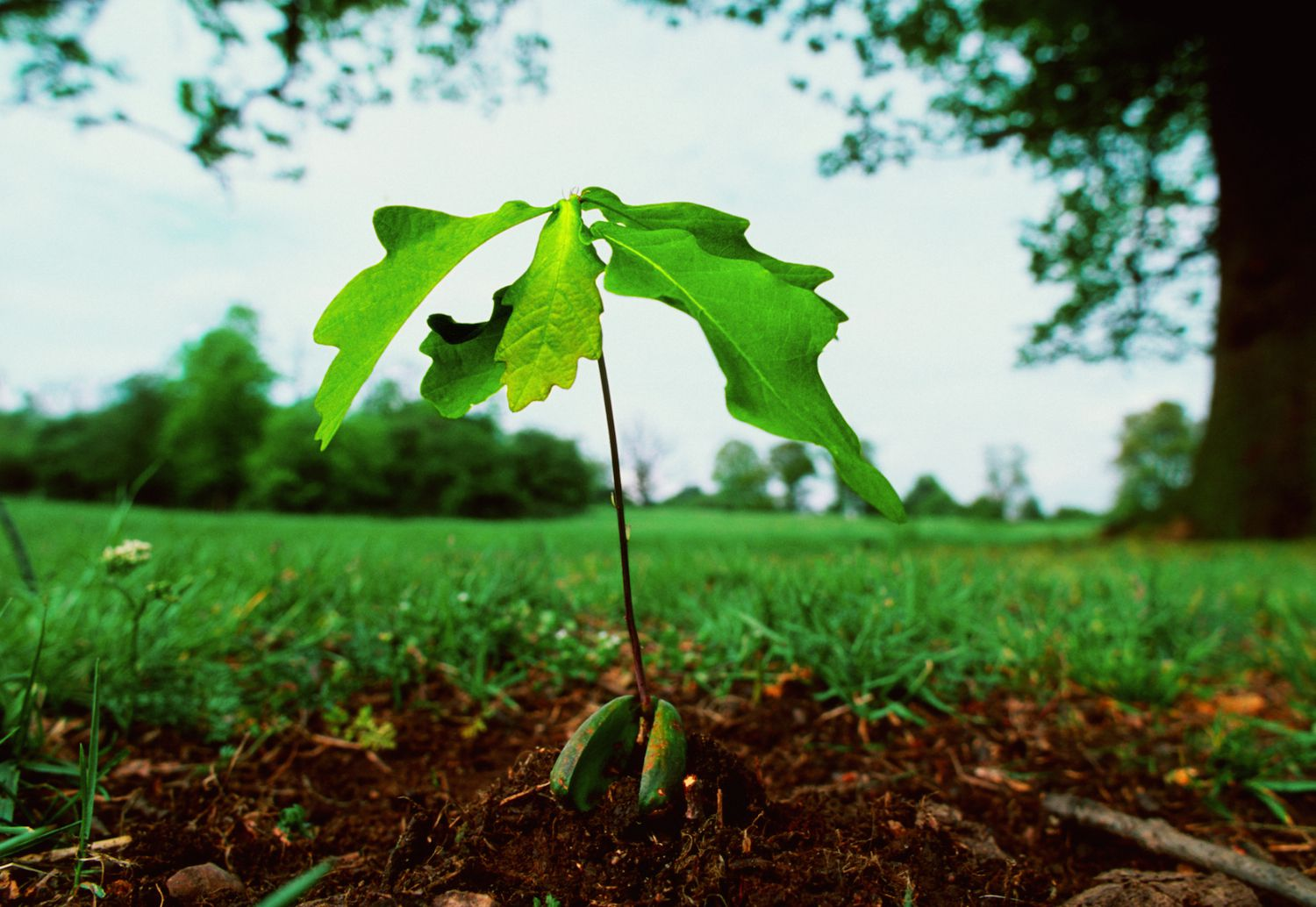 Collect And Plant An Acorn To Grow An Oak Tree