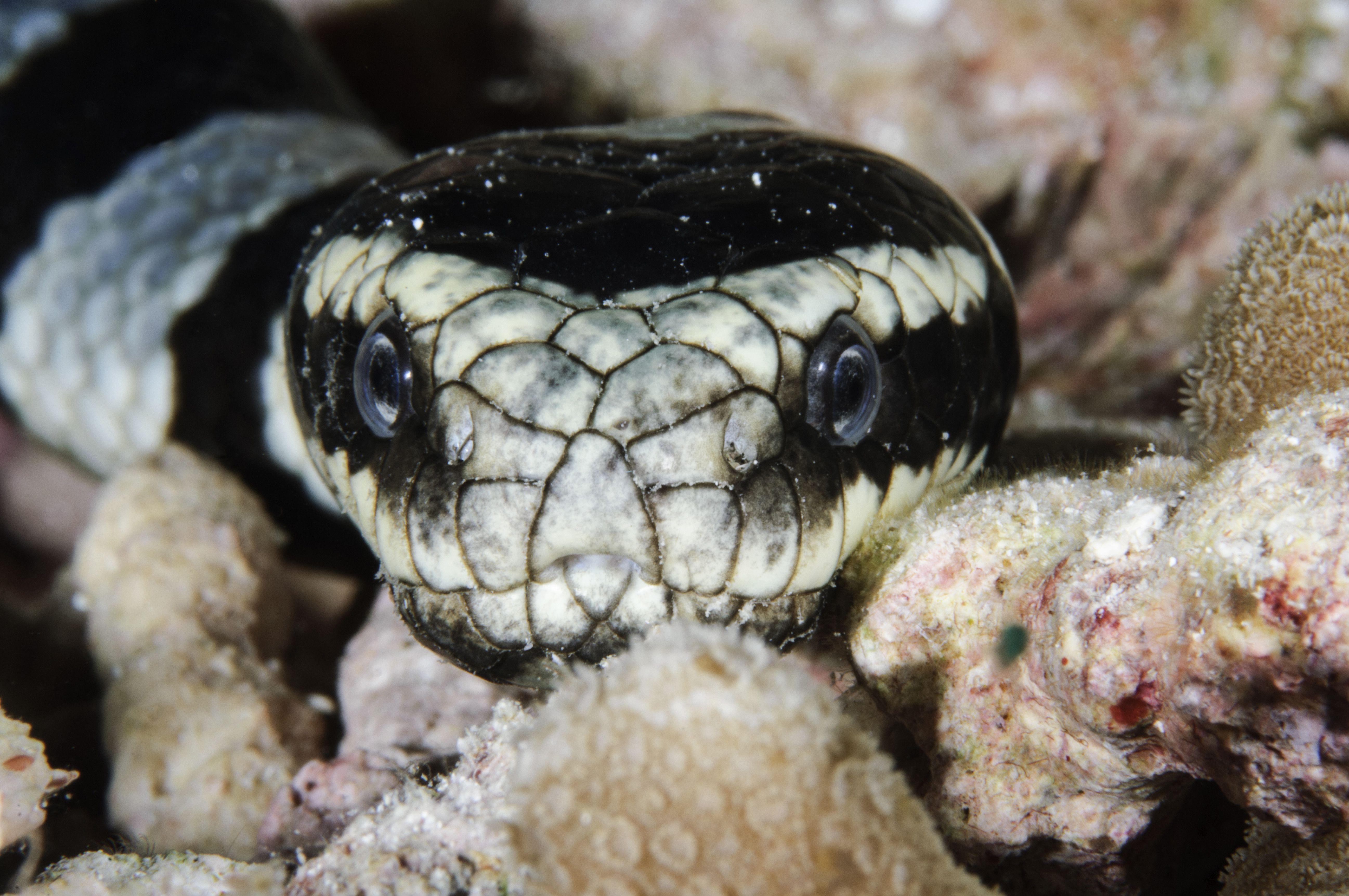 You can tell this is a krait because it has nostrils on either side of its snout.
