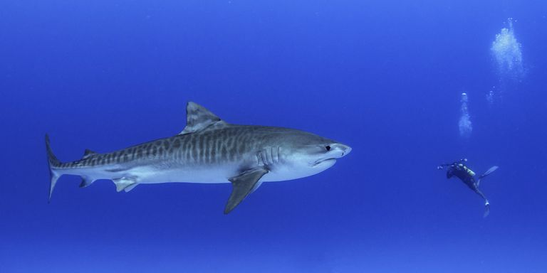 Diver with a juvenile tiger shark, Honokohau harbor, Hawaii, America, USA