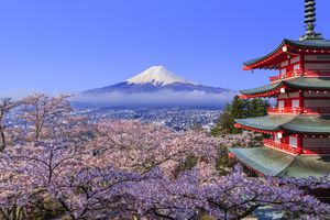 Mt. Fuji looms over a field of cherry blossoms