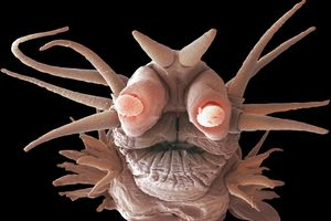 A deep ocean worm (Nereis sandersi) with pink coloring and glowing eyes, lives off the minerals from hydrothermal vents using the process of chemosynthesis