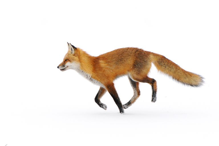 The red fox is widely distributed worldwide.