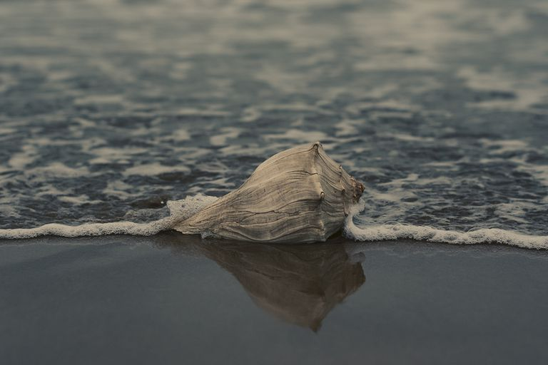 Conch shell on the beach.