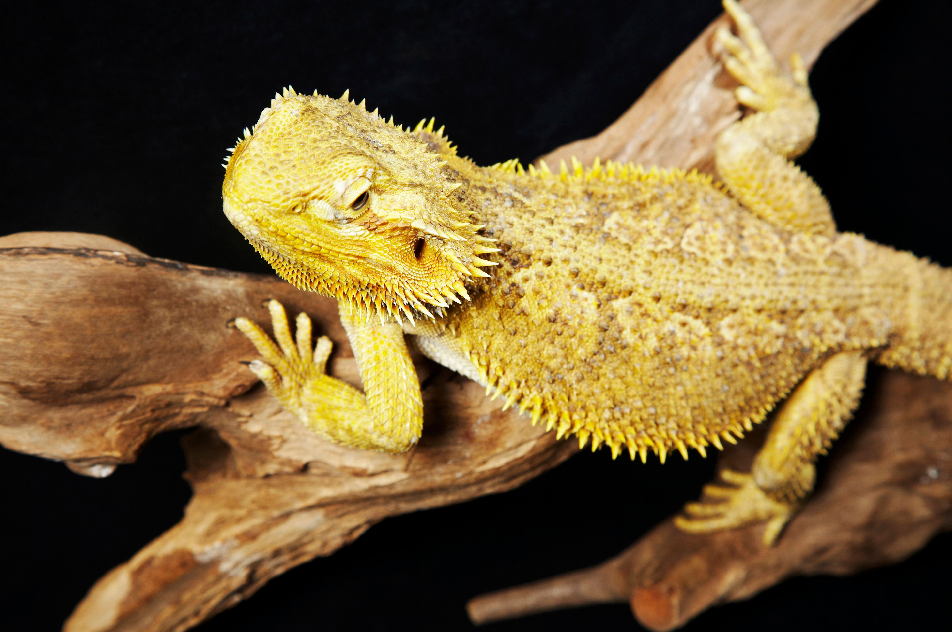 Close-up of a bearded dragon on a branch against a black backdrop
