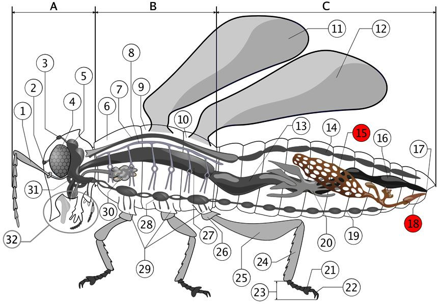 Color diagrams of insect organs and internal structures ccuart Choice Image