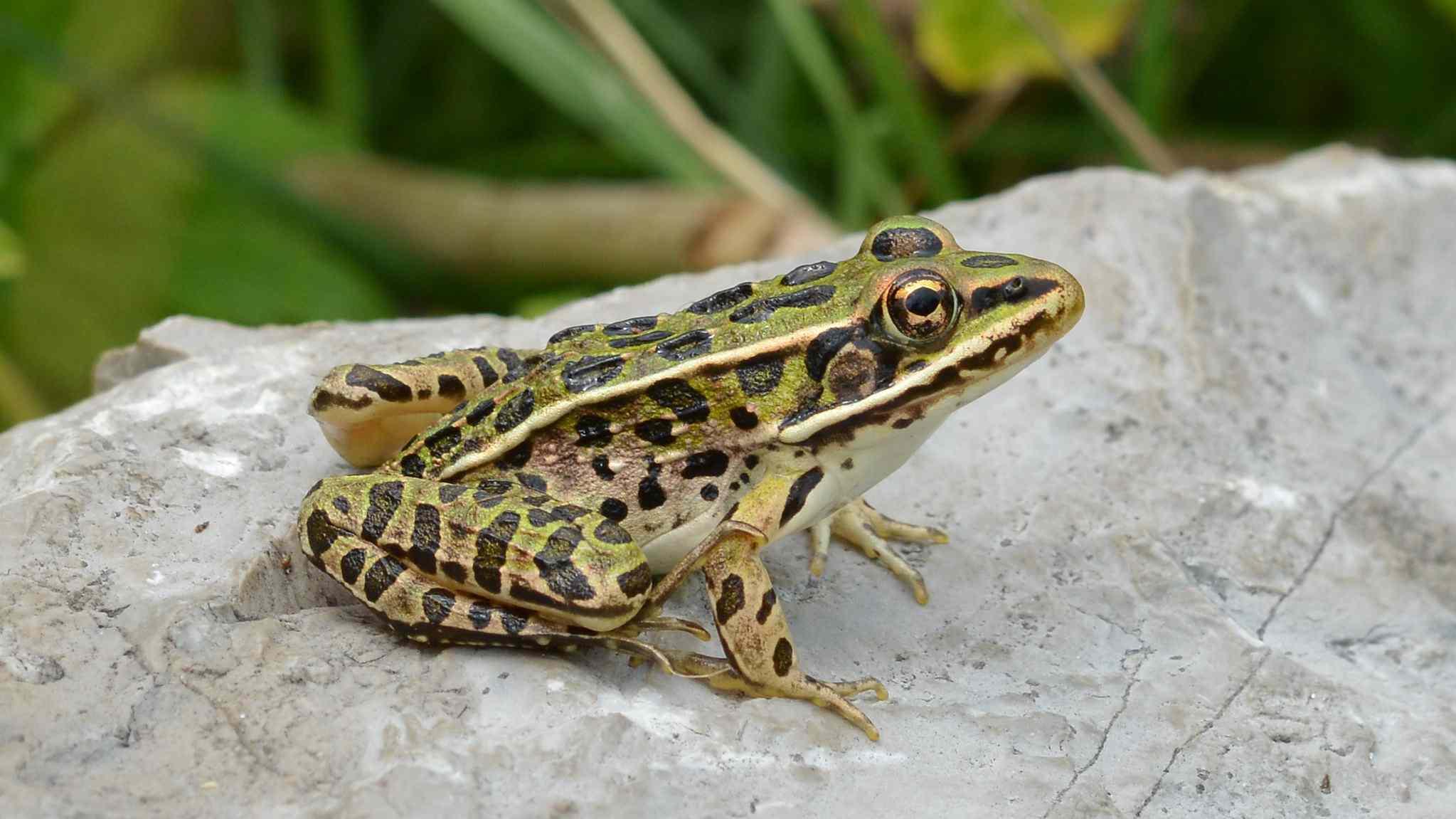 Leopard frog sitting on a rock.