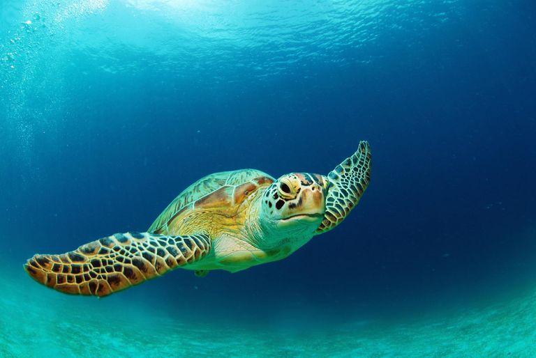 Philippines, green sea turtle (Chelonia mydas) swimming, close-up, underwater view