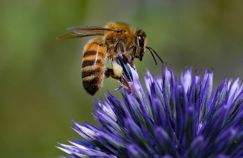 Honey bee on Echinop Thistle