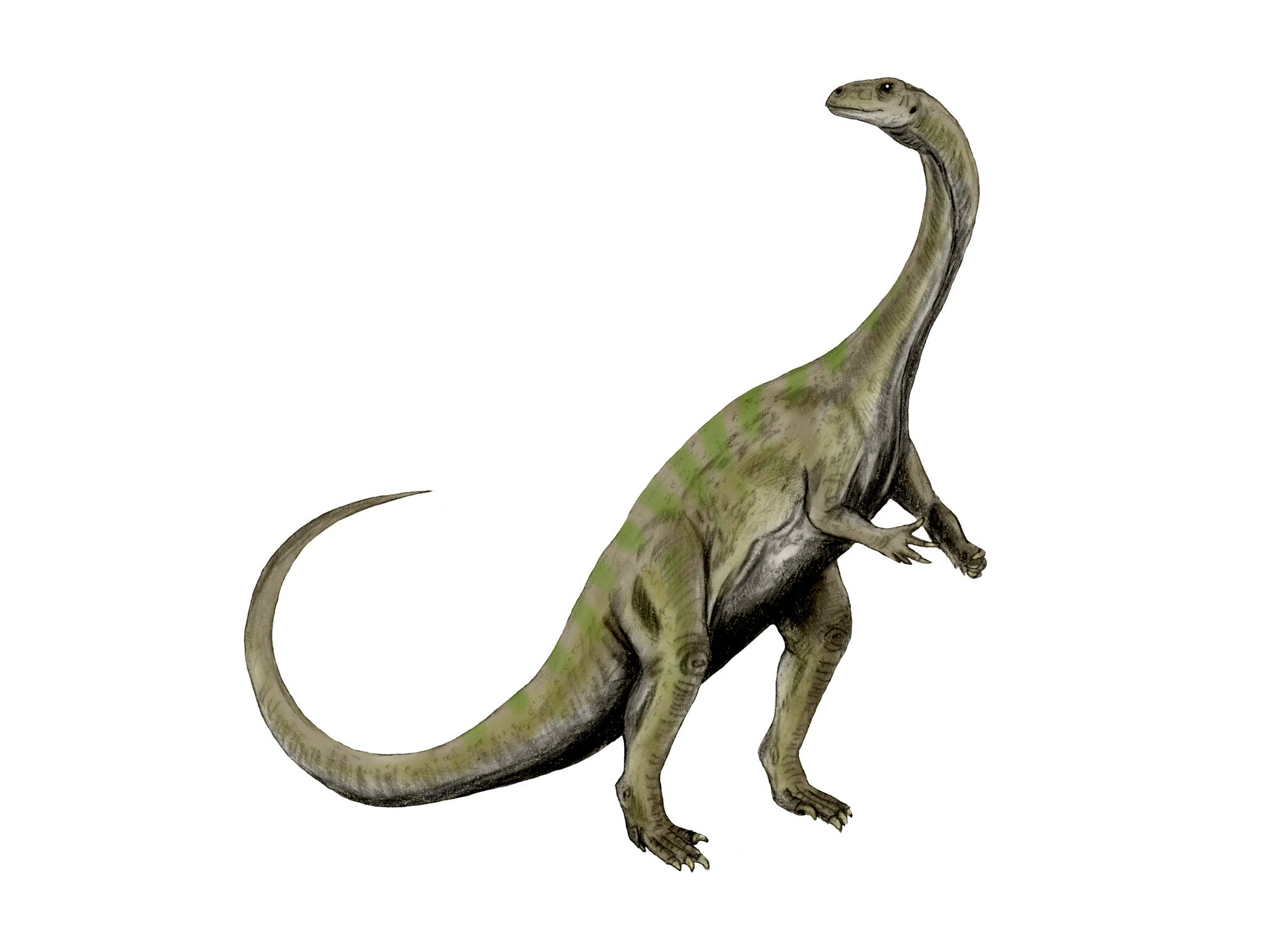 Massospondylus dinosaur, white background.