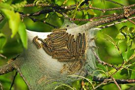 Eastern tent caterpillars on a black cherry tree.